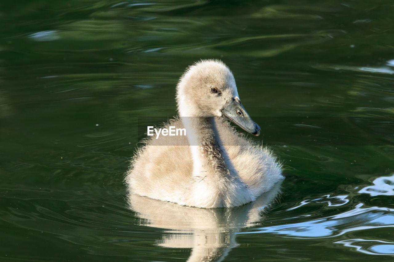 Cygnet Swimming In Lake