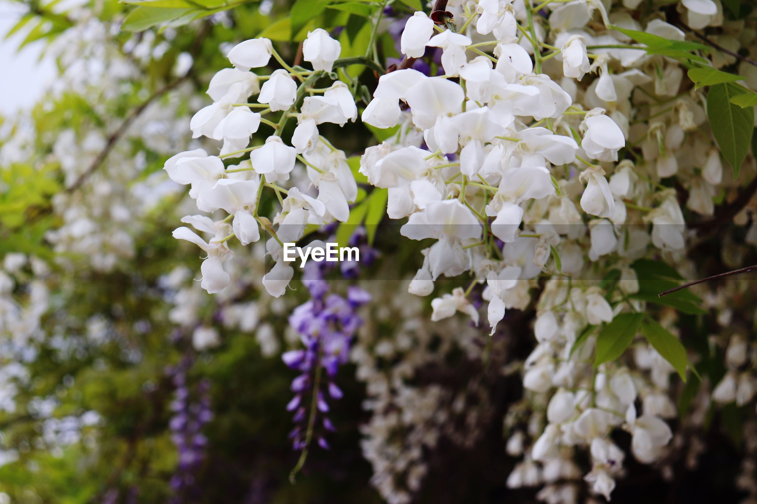 flower, flowering plant, plant, fragility, vulnerability, beauty in nature, freshness, growth, white color, close-up, petal, no people, nature, day, focus on foreground, tree, blossom, botany, selective focus, springtime, outdoors, flower head, lilac, cherry blossom