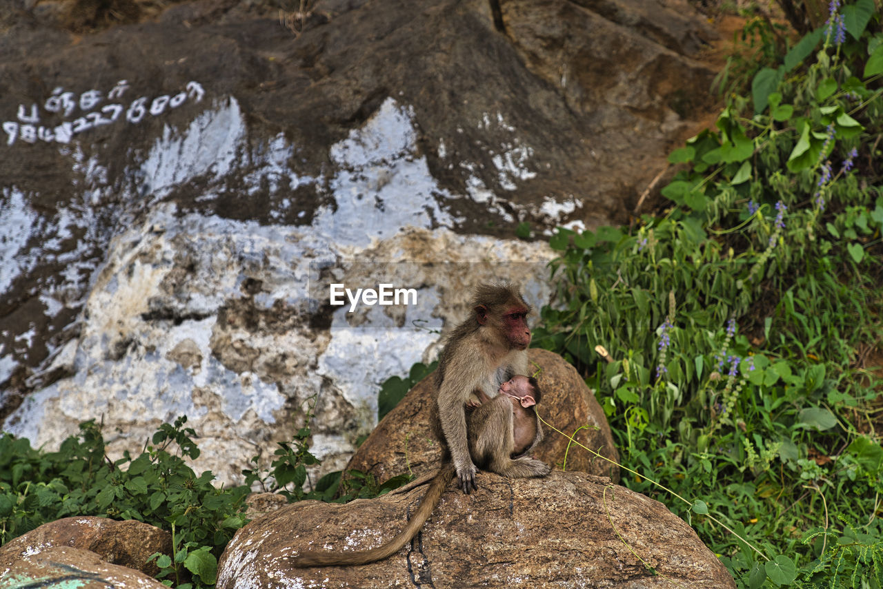 animal themes, animal, rock, monkey, animals in the wild, rock - object, animal wildlife, solid, primate, mammal, one animal, vertebrate, sitting, no people, nature, day, focus on foreground, outdoors, rock formation, baboon, animal family