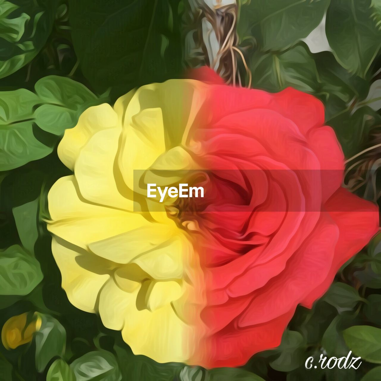 flower, petal, fragility, flower head, rose - flower, beauty in nature, nature, freshness, growth, close-up, plant, no people, red, day, leaf, outdoors, multi colored, blooming