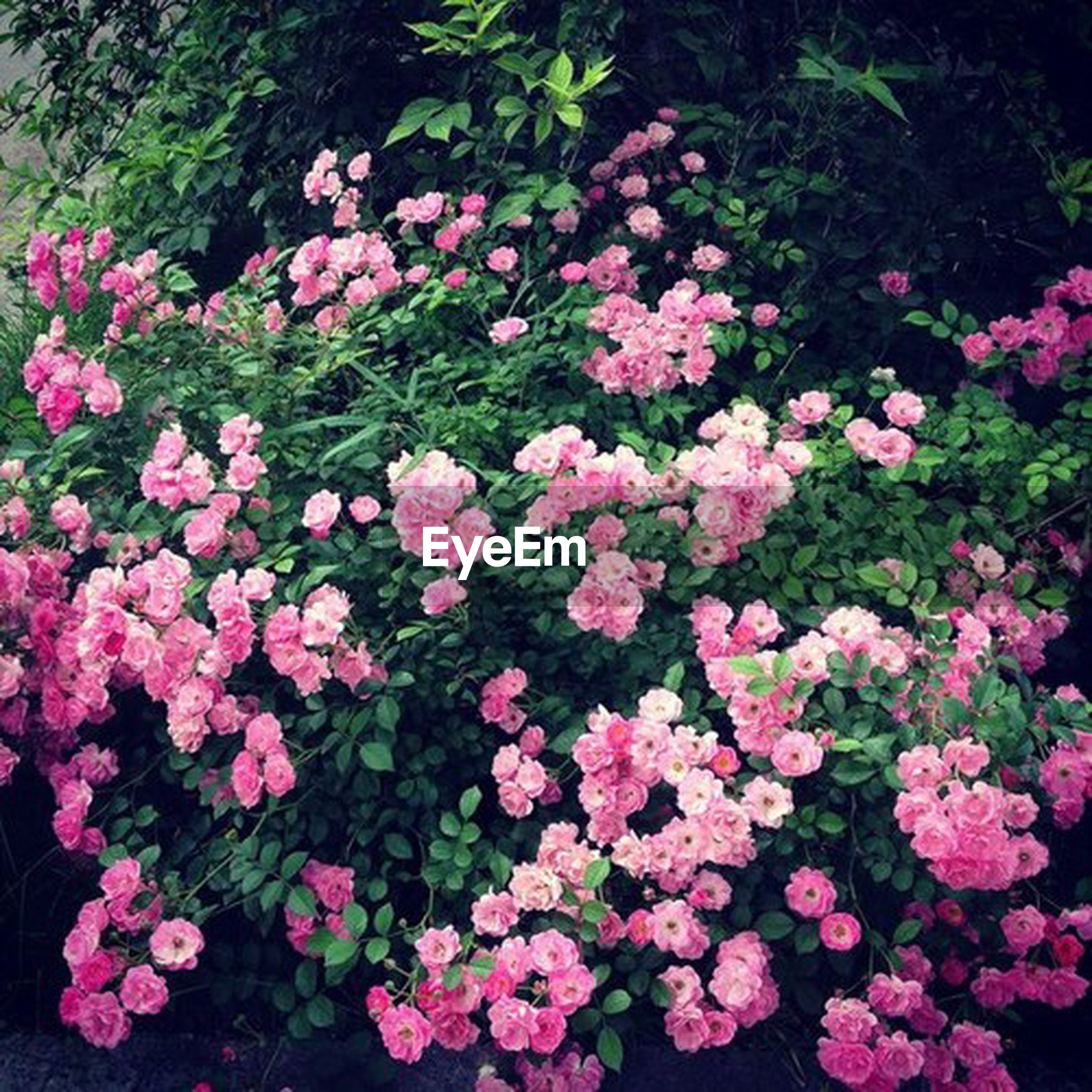 flower, freshness, growth, beauty in nature, pink color, petal, fragility, nature, blooming, plant, park - man made space, in bloom, flower head, high angle view, pink, blossom, outdoors, day, leaf, no people