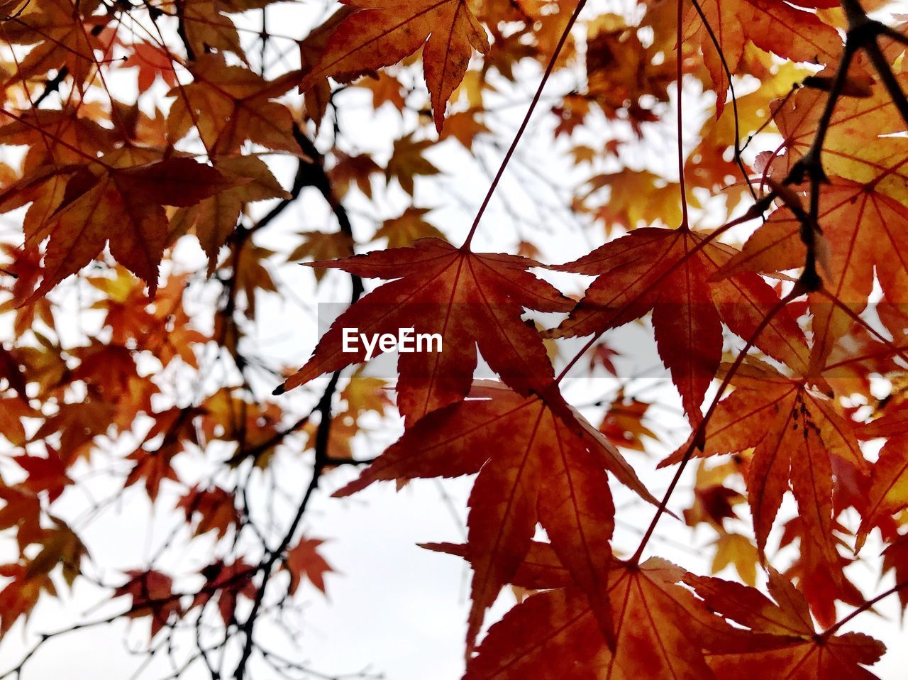 autumn, leaf, change, plant part, tree, plant, maple leaf, close-up, focus on foreground, leaves, no people, maple tree, nature, beauty in nature, orange color, branch, day, growth, low angle view, outdoors, natural condition, fall, autumn collection