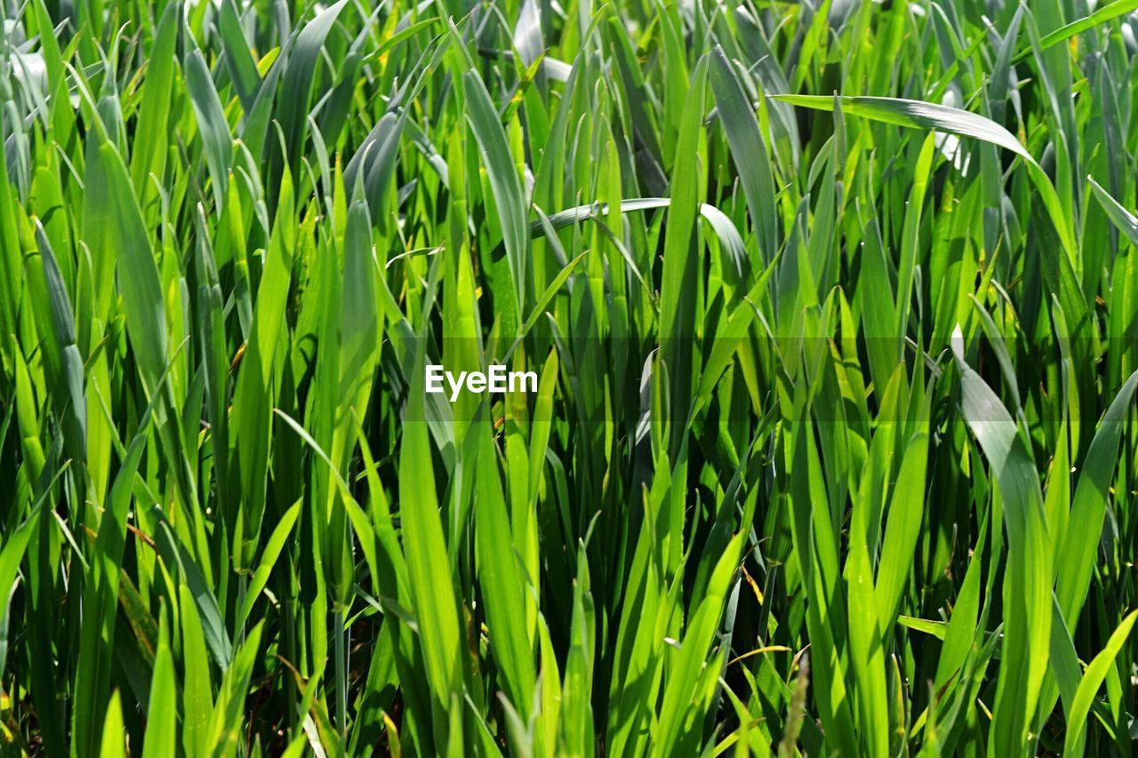 growth, green color, nature, field, plant, agriculture, grass, day, full frame, backgrounds, outdoors, cereal plant, no people, beauty in nature, close-up, freshness