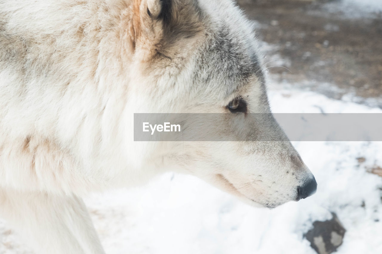 winter, snow, cold temperature, weather, one animal, outdoors, white color, animal themes, day, nature, mammal, no people, close-up, focus on foreground, field, dog, wolf, domestic animals, beauty in nature