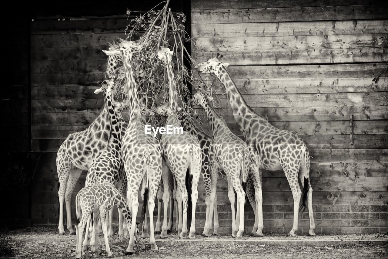 Giraffes eating leaves by wooden wall at zoo