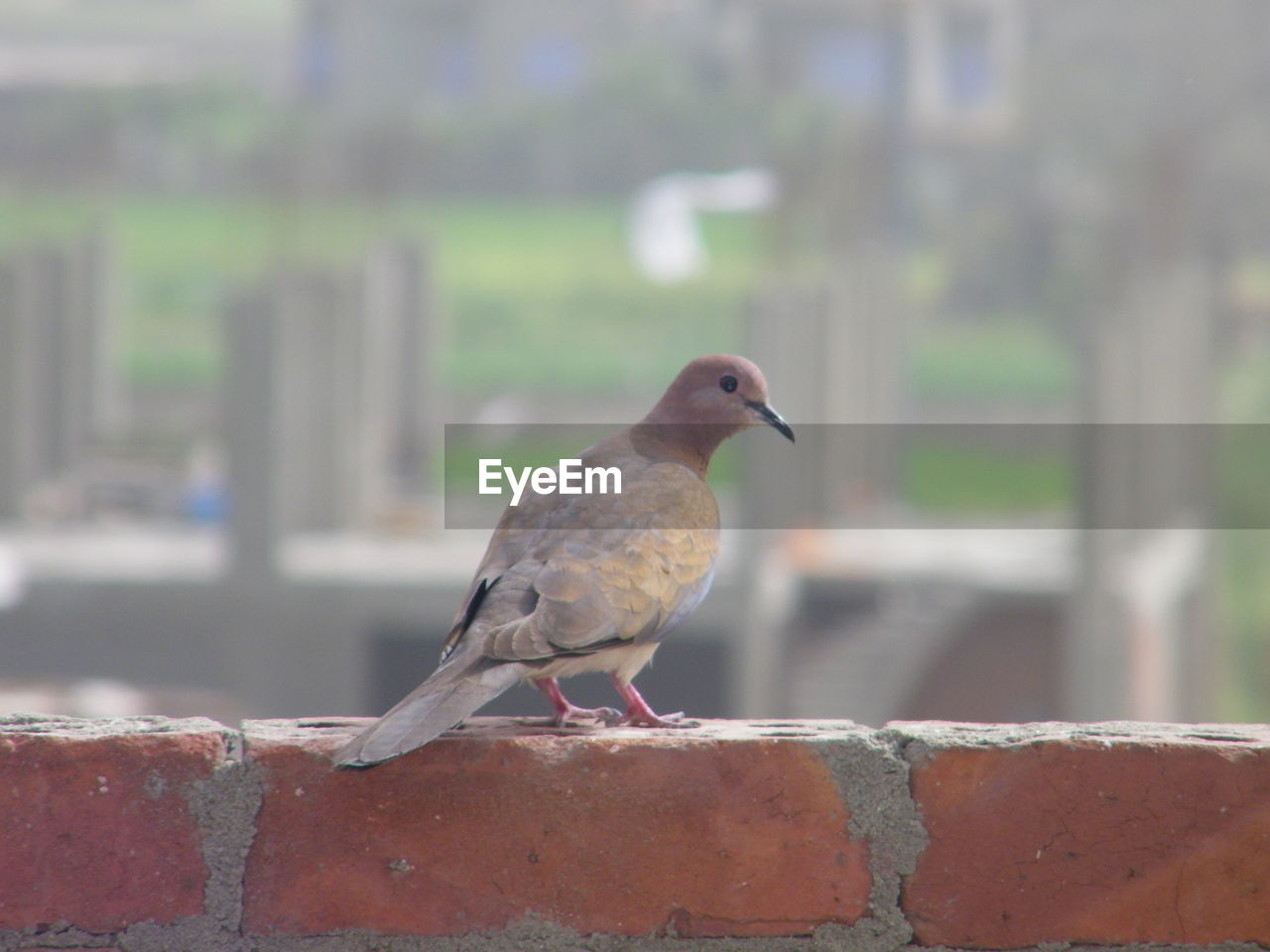 animal themes, animal, bird, animals in the wild, animal wildlife, vertebrate, perching, one animal, wall, day, focus on foreground, no people, mourning dove, retaining wall, dove - bird, outdoors, architecture, close-up, side view, nature