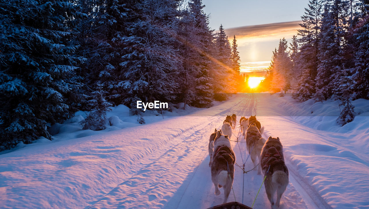 Sled dogs pulling cart on snow covered road