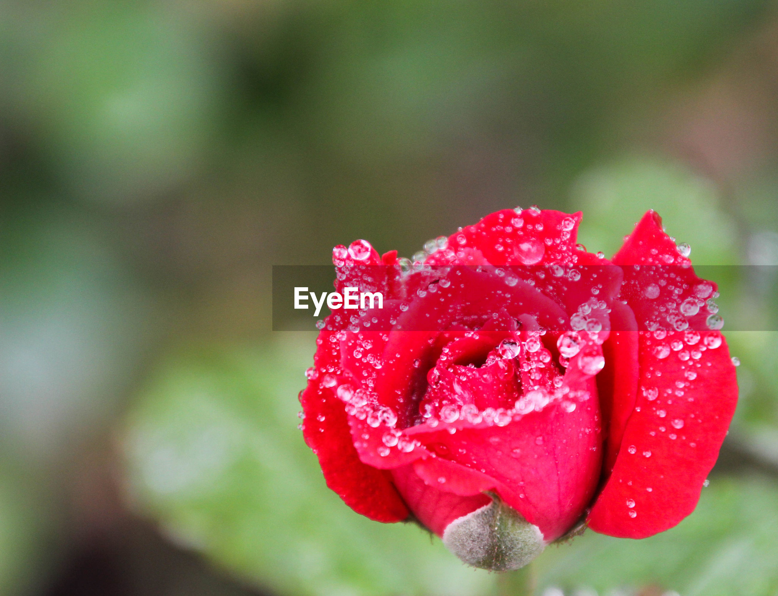 CLOSE-UP OF RAINDROPS ON ROSE