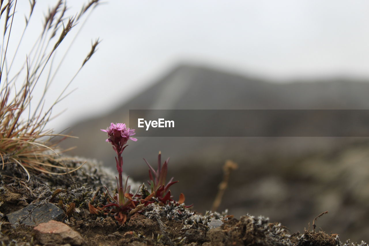 plant, nature, growth, focus on foreground, beauty in nature, no people, day, flowering plant, flower, tranquility, close-up, land, outdoors, sky, selective focus, vulnerability, fragility, mountain, rock, freshness, flower head