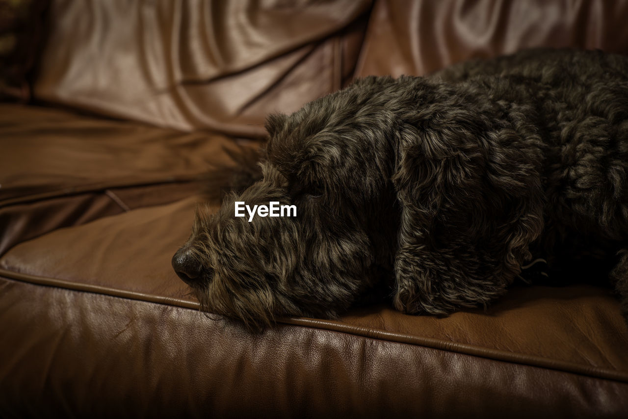 domestic, domestic animals, pets, mammal, one animal, animal themes, canine, vertebrate, dog, animal, indoors, relaxation, furniture, sleeping, no people, animal hair, bed, home interior, resting, close-up, animal head