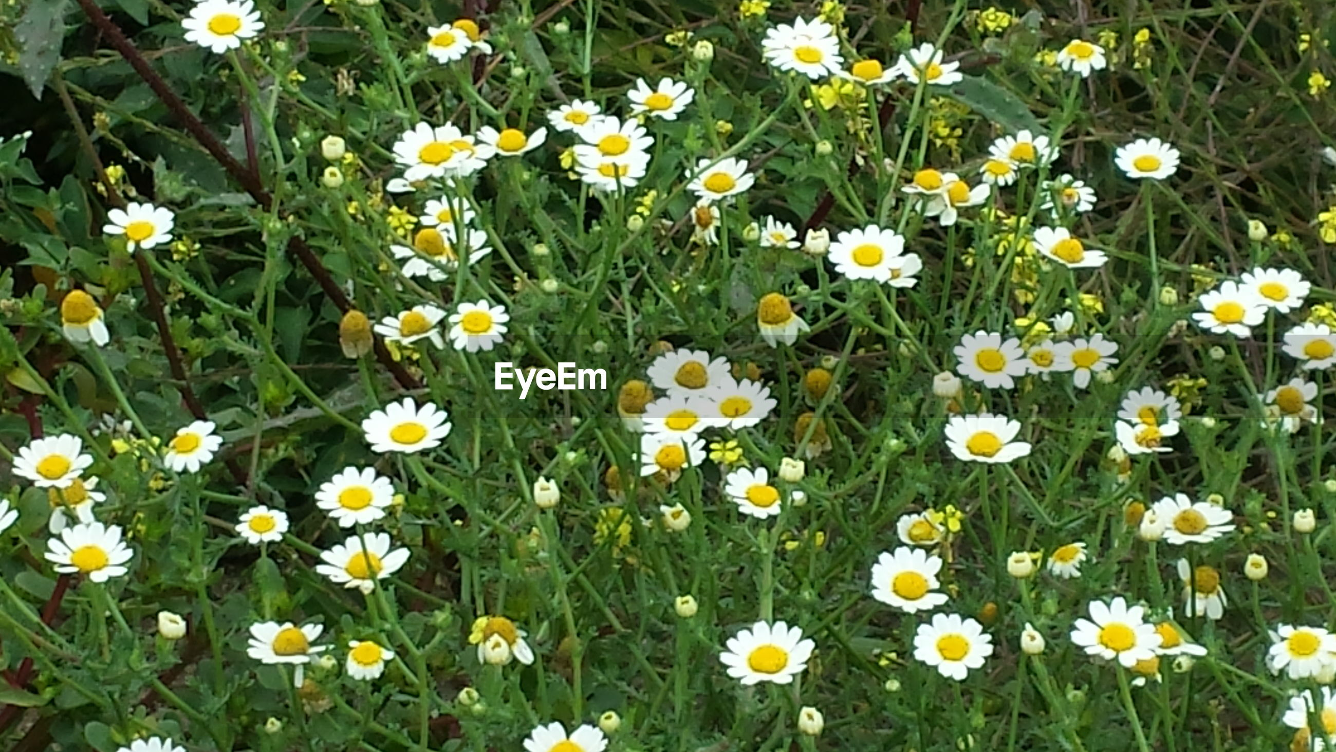 flower, freshness, growth, daisy, fragility, petal, beauty in nature, white color, nature, flower head, blooming, field, plant, high angle view, in bloom, yellow, abundance, blossom, botany, wildflower