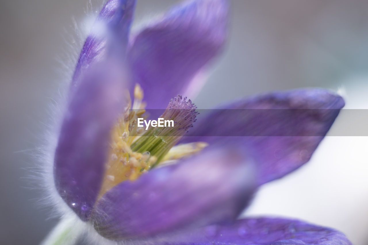 flower, flowering plant, purple, plant, vulnerability, beauty in nature, freshness, fragility, close-up, petal, growth, selective focus, flower head, inflorescence, nature, no people, day, pollen, iris, crocus, softness, iris - plant