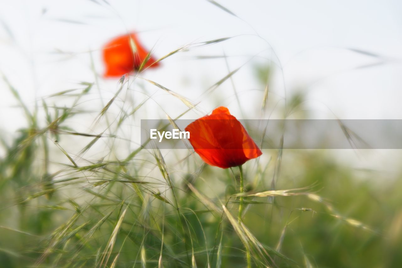plant, fragility, beauty in nature, flowering plant, vulnerability, flower, freshness, growth, red, petal, poppy, inflorescence, nature, flower head, close-up, selective focus, land, field, no people, day