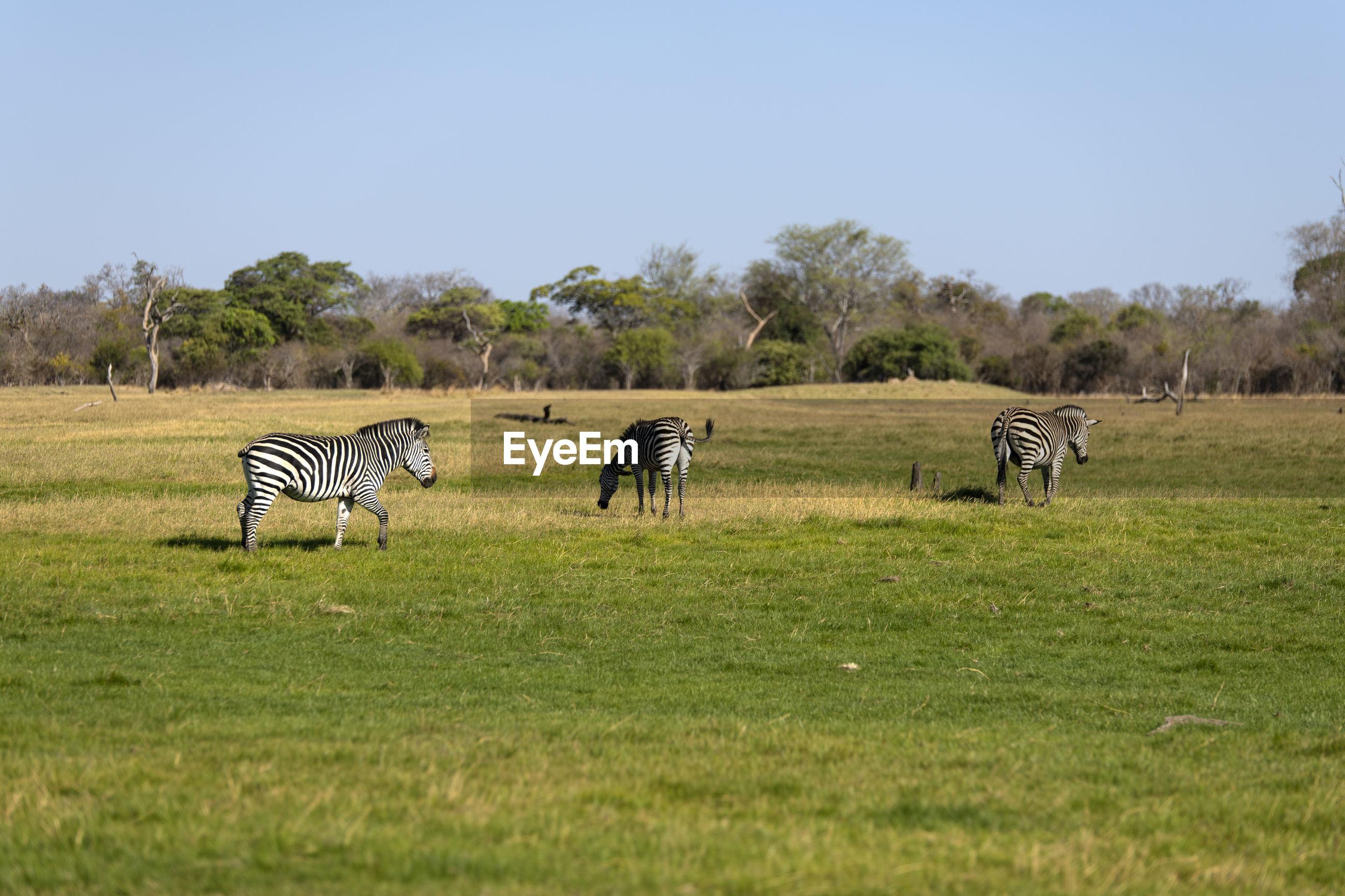 View of zebras on grassy field