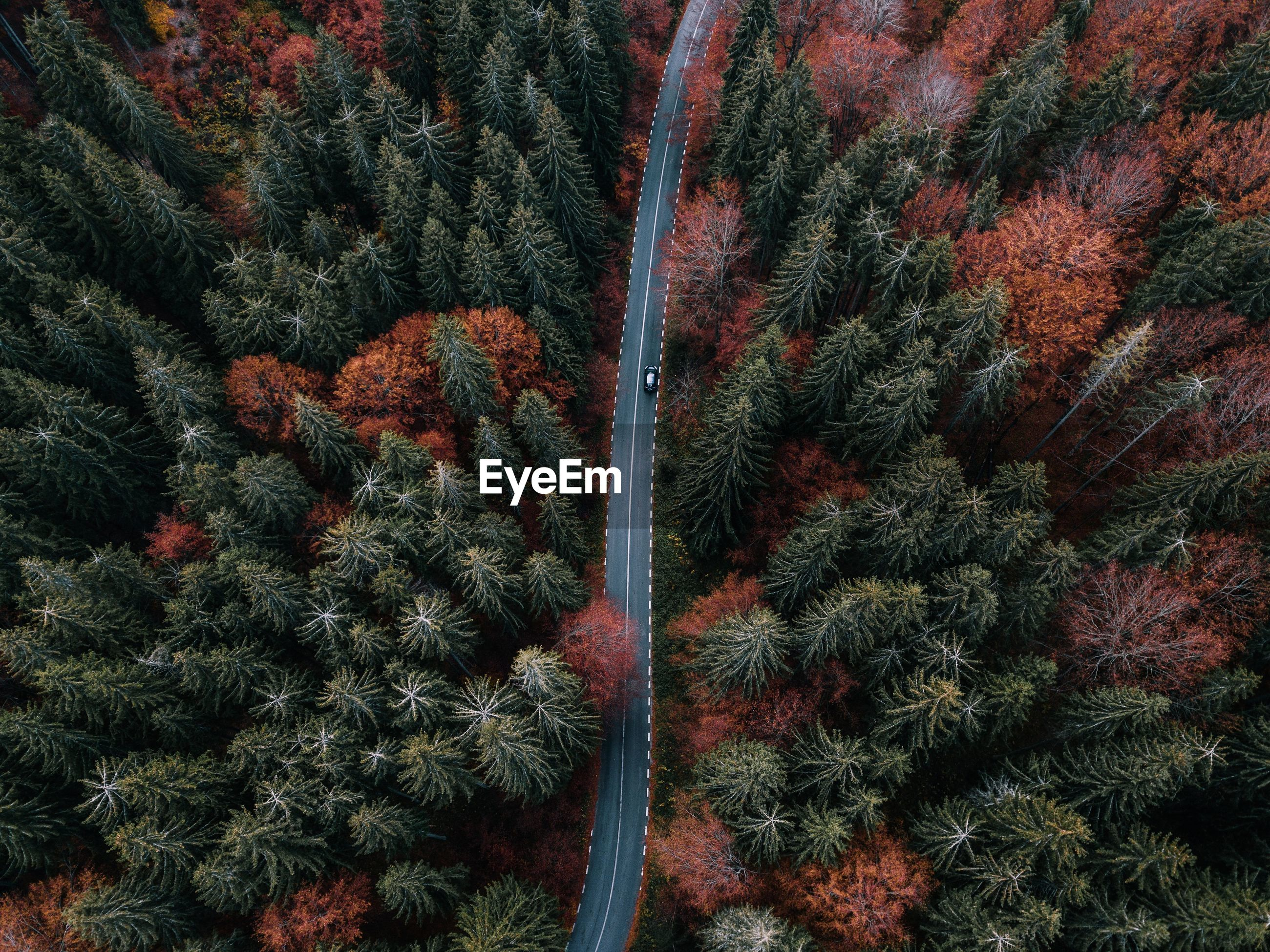 Aerial view of road amidst pine trees in forest during autumn