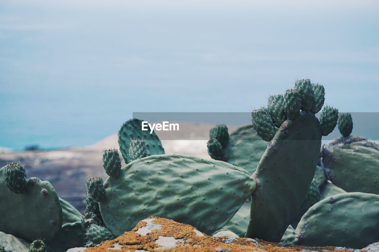 Close-Up Of Cactus Growing On Rock Against Sea