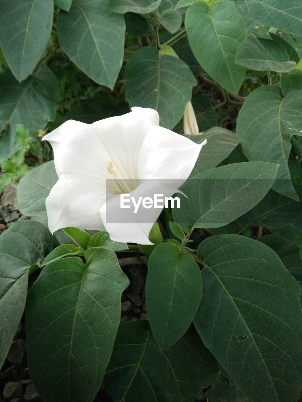 leaf, petal, flower, plant, growth, flower head, beauty in nature, nature, fragility, white color, freshness, green color, day, rose - flower, no people, blooming, outdoors, close-up, periwinkle