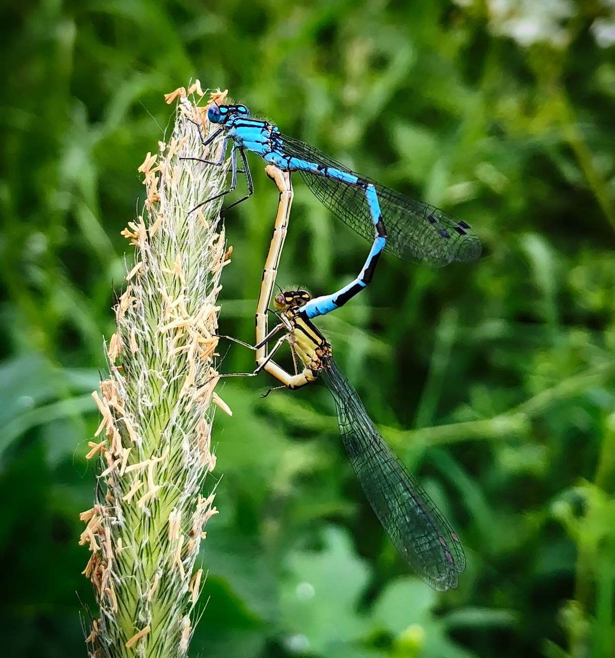 animal wildlife, animals in the wild, animal themes, insect, animal, invertebrate, plant, one animal, focus on foreground, close-up, green color, day, no people, nature, animal wing, outdoors, damselfly