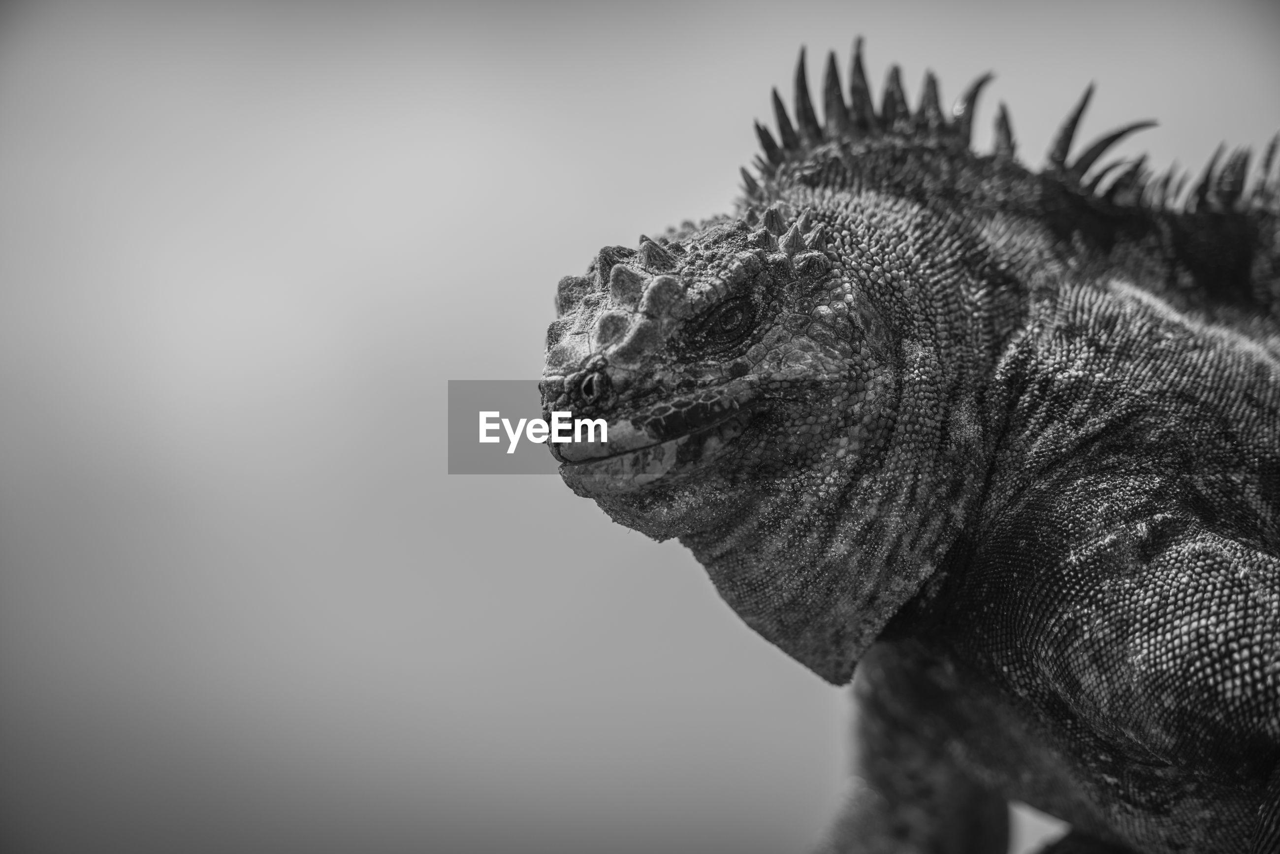 Black and white photo of a marine iguana, on  isabela island, galapagos islands