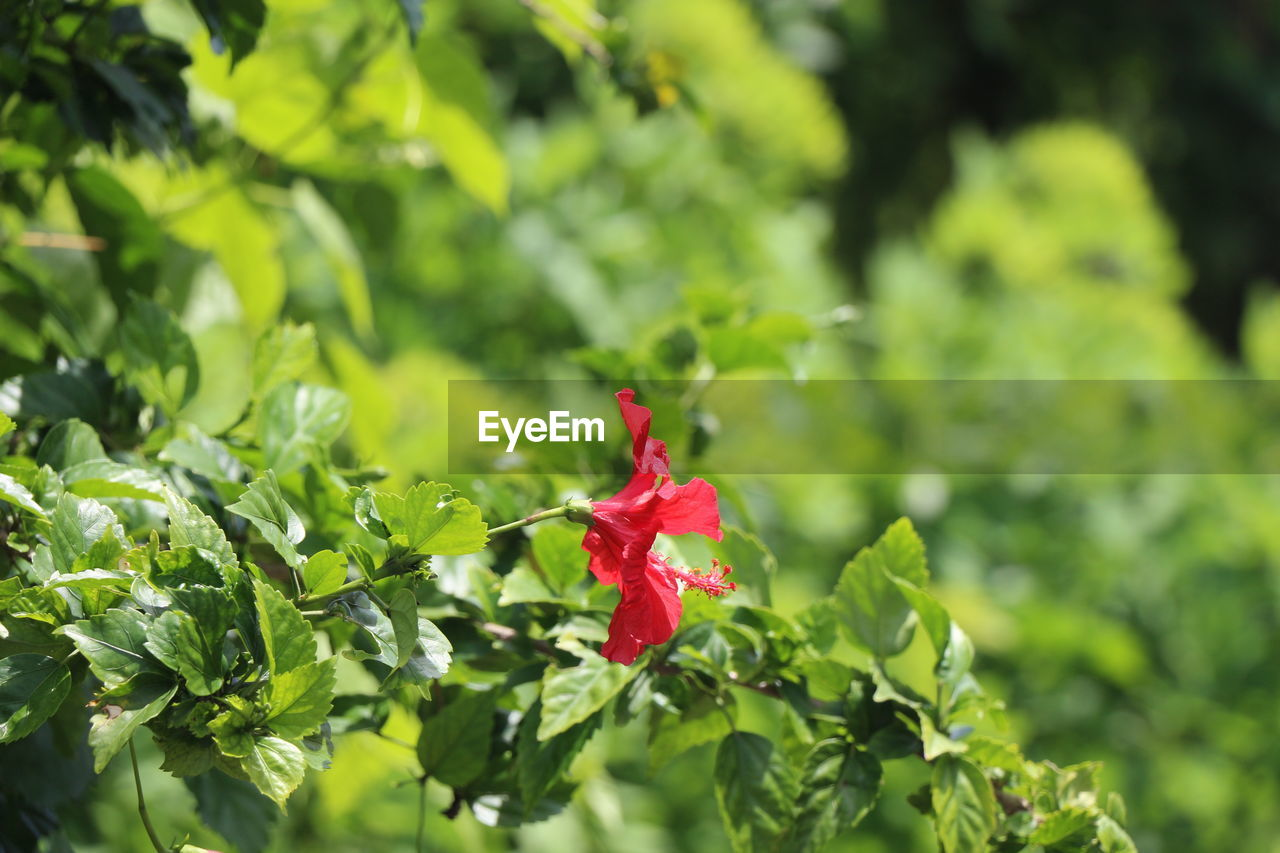 red, leaf, growth, nature, flower, beauty in nature, green color, maple leaf, freshness, outdoors, petal, close-up, fragility, no people, plant, day, hibiscus, flower head