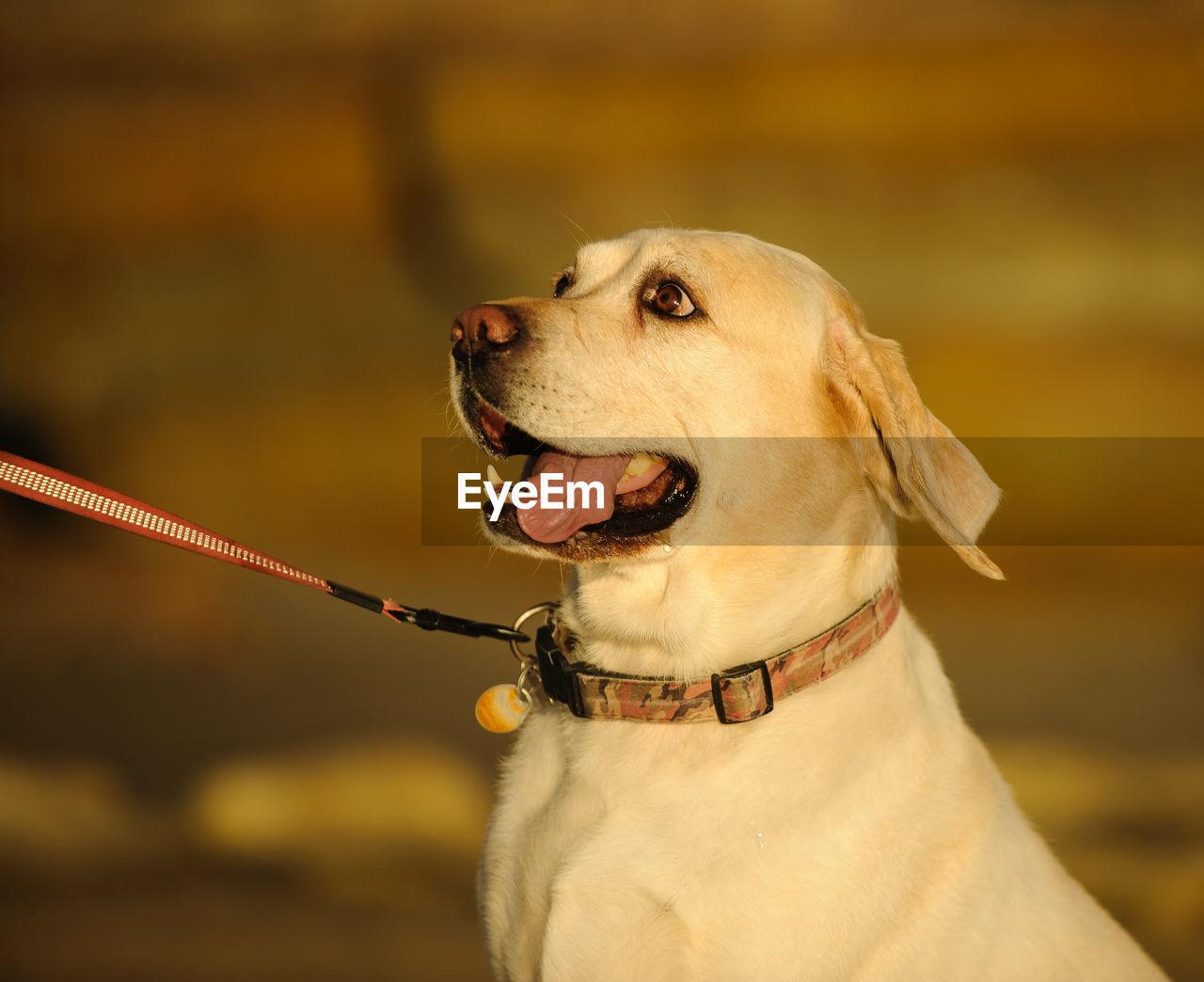 Yellow labrador retriever looking away