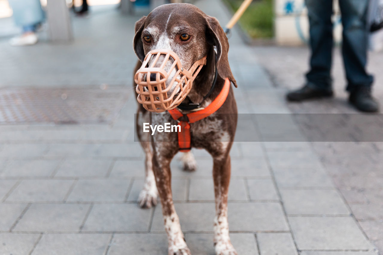 German shorthaired pointer dog in a muzzle and on a leash stands on the street near the owner