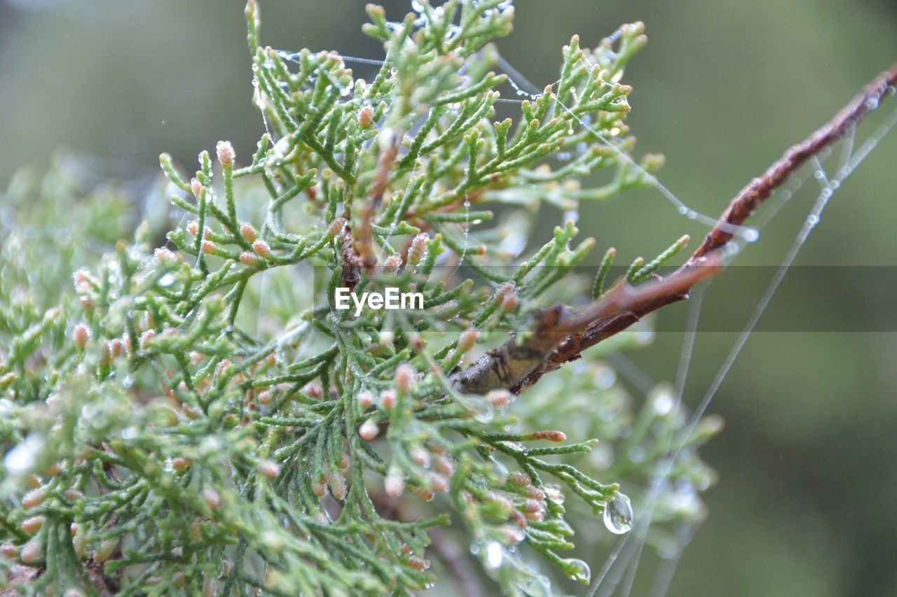 plant, growth, green color, close-up, nature, focus on foreground, beauty in nature, day, no people, selective focus, tree, leaf, outdoors, plant part, tranquility, branch, wet, twig, cold temperature, needle - plant part, pine tree, coniferous tree