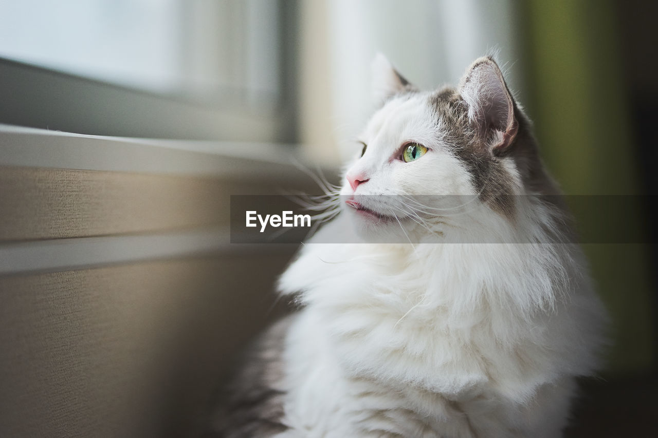 domestic, pets, cat, animal themes, domestic animals, domestic cat, mammal, animal, one animal, feline, vertebrate, looking away, white color, looking, no people, close-up, whisker, home interior, indoors, focus on foreground, animal head, animal eye