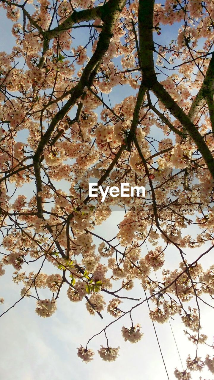 tree, branch, flower, blossom, beauty in nature, springtime, nature, growth, fragility, cherry tree, apple blossom, low angle view, twig, botany, freshness, no people, orchard, backgrounds, day, outdoors, sky, tranquility, full frame, petal, scenics, close-up, flower head