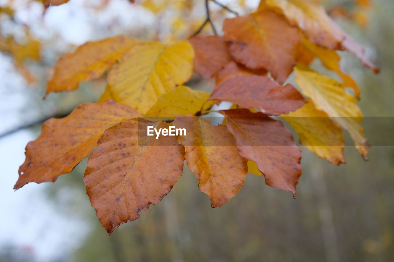 leaf, plant part, autumn, close-up, beauty in nature, change, vulnerability, nature, fragility, leaves, day, yellow, no people, focus on foreground, plant, outdoors, growth, dry, orange color, selective focus, autumn collection, natural condition, maple leaf