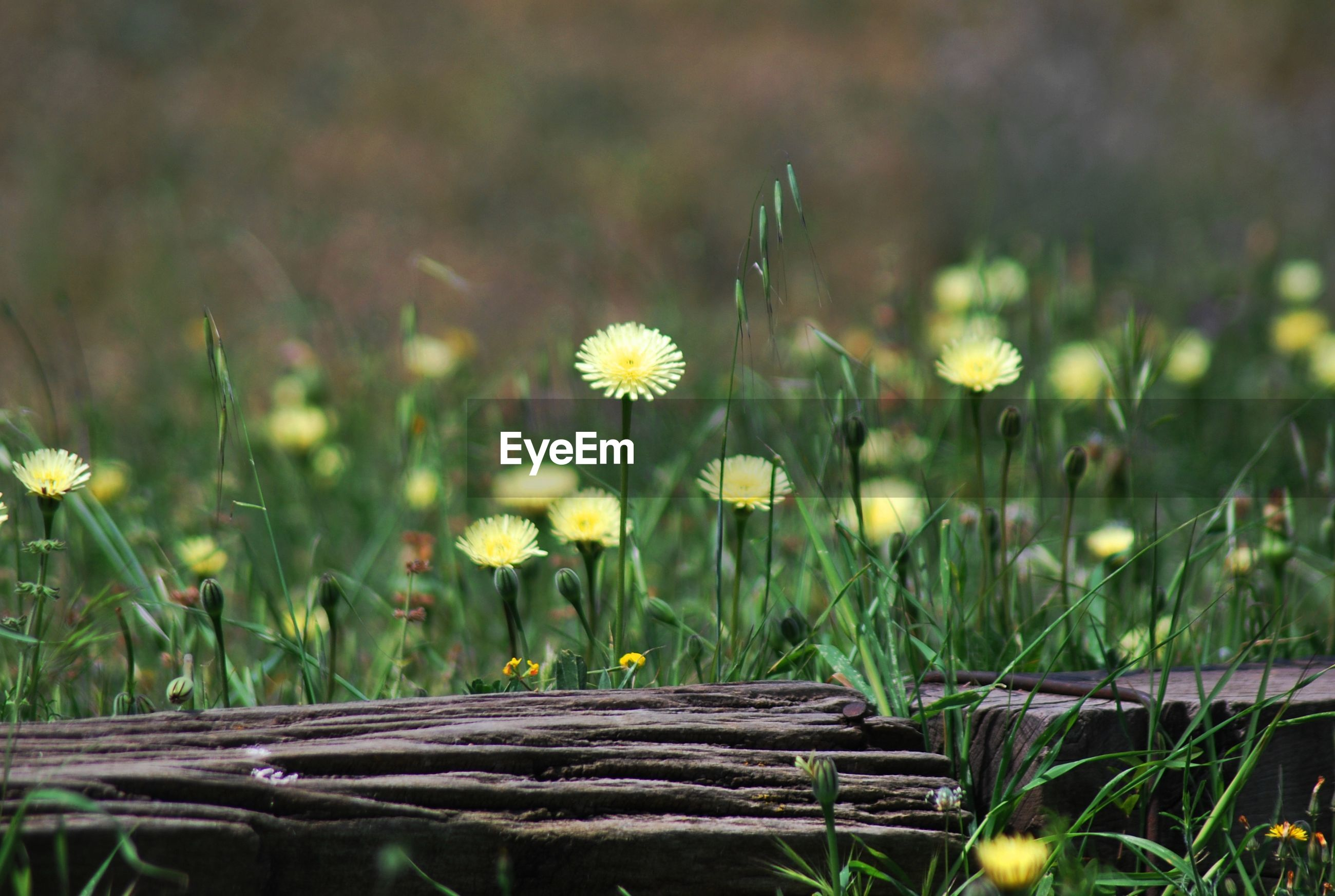 Wood by yellow flowers blooming on field