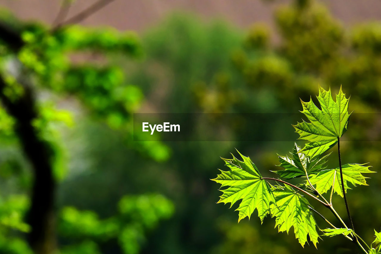 leaf, plant, growth, plant part, green color, beauty in nature, focus on foreground, nature, close-up, day, no people, tree, tranquility, outdoors, selective focus, autumn, change, branch, leaves, vulnerability, maple leaf, natural condition