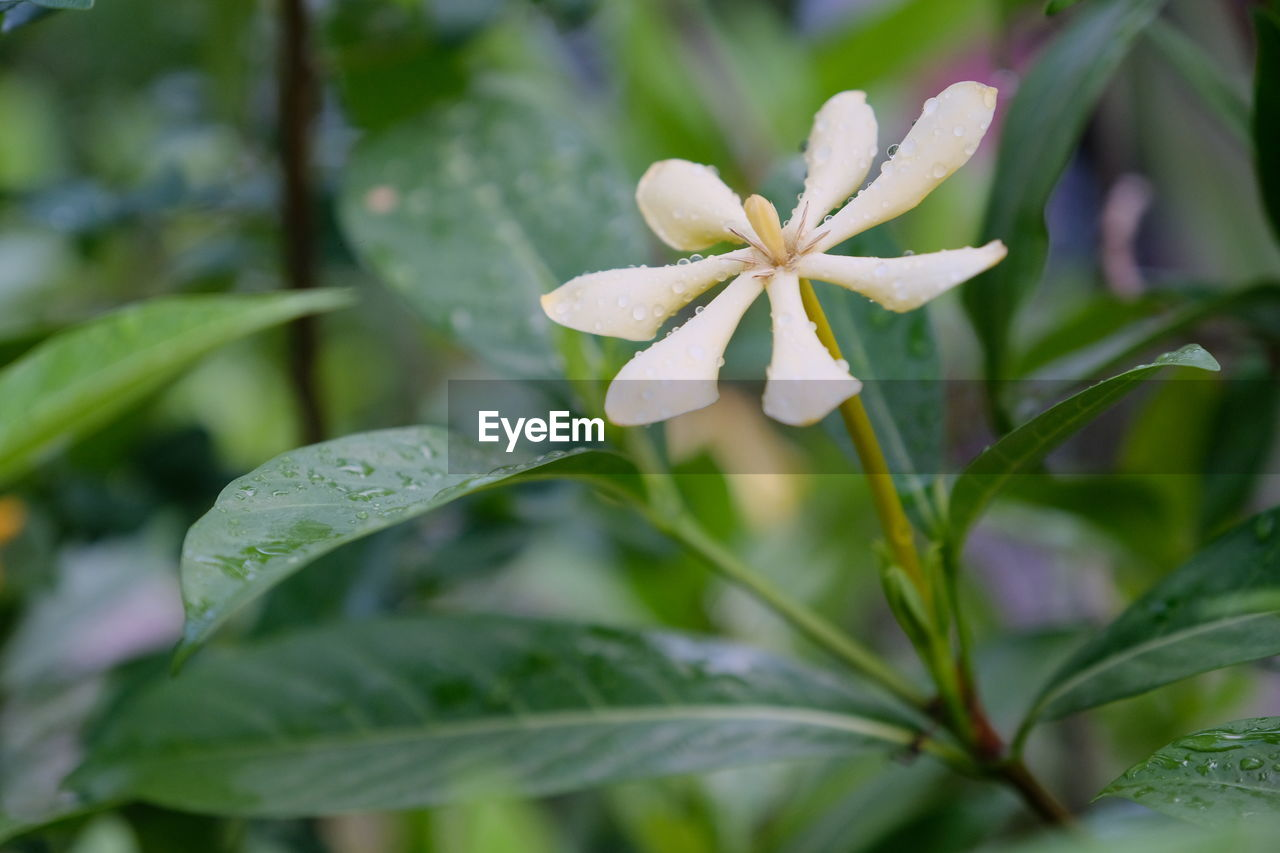 growth, plant, beauty in nature, close-up, plant part, leaf, freshness, vulnerability, fragility, green color, flower, no people, flowering plant, focus on foreground, drop, nature, selective focus, wet, petal, flower head, outdoors, rainy season, raindrop, dew, purity