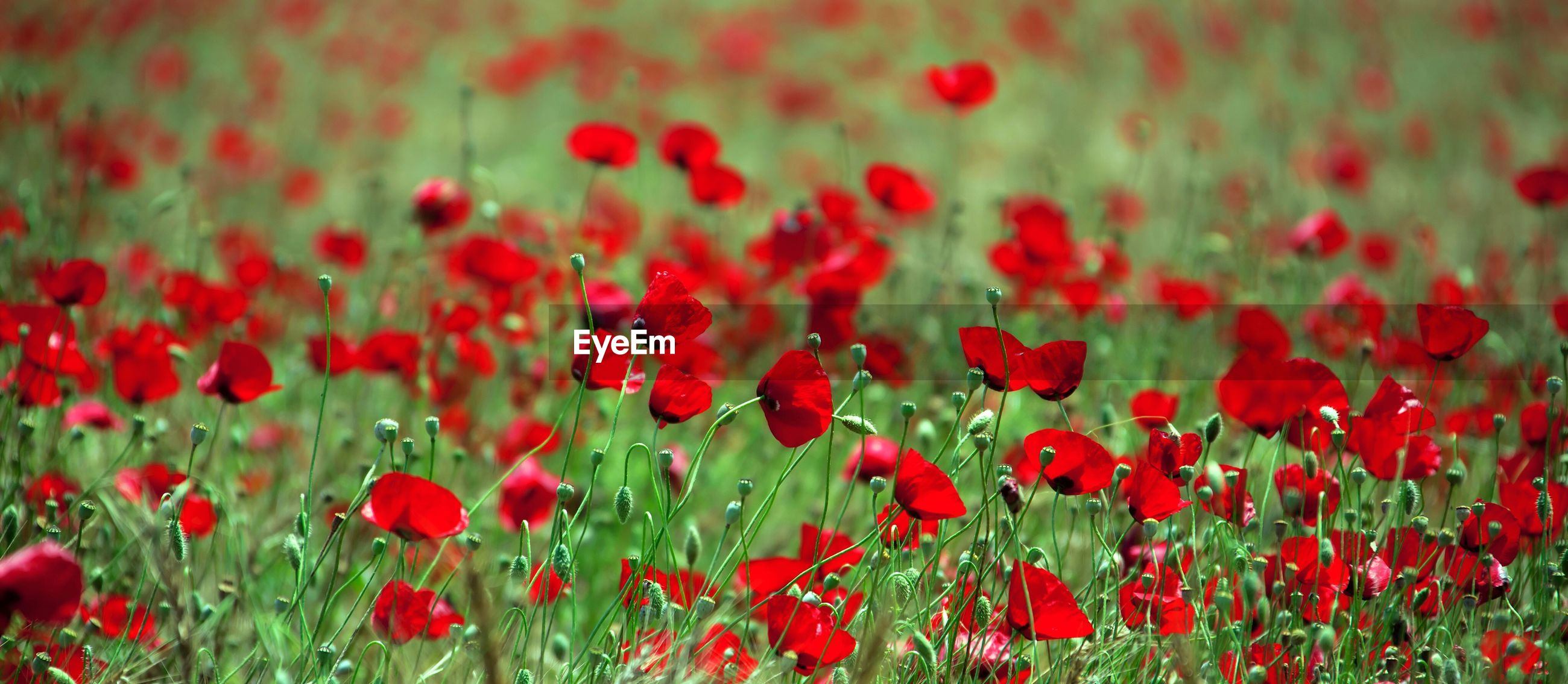 CLOSE-UP OF POPPIES BLOOMING ON FIELD