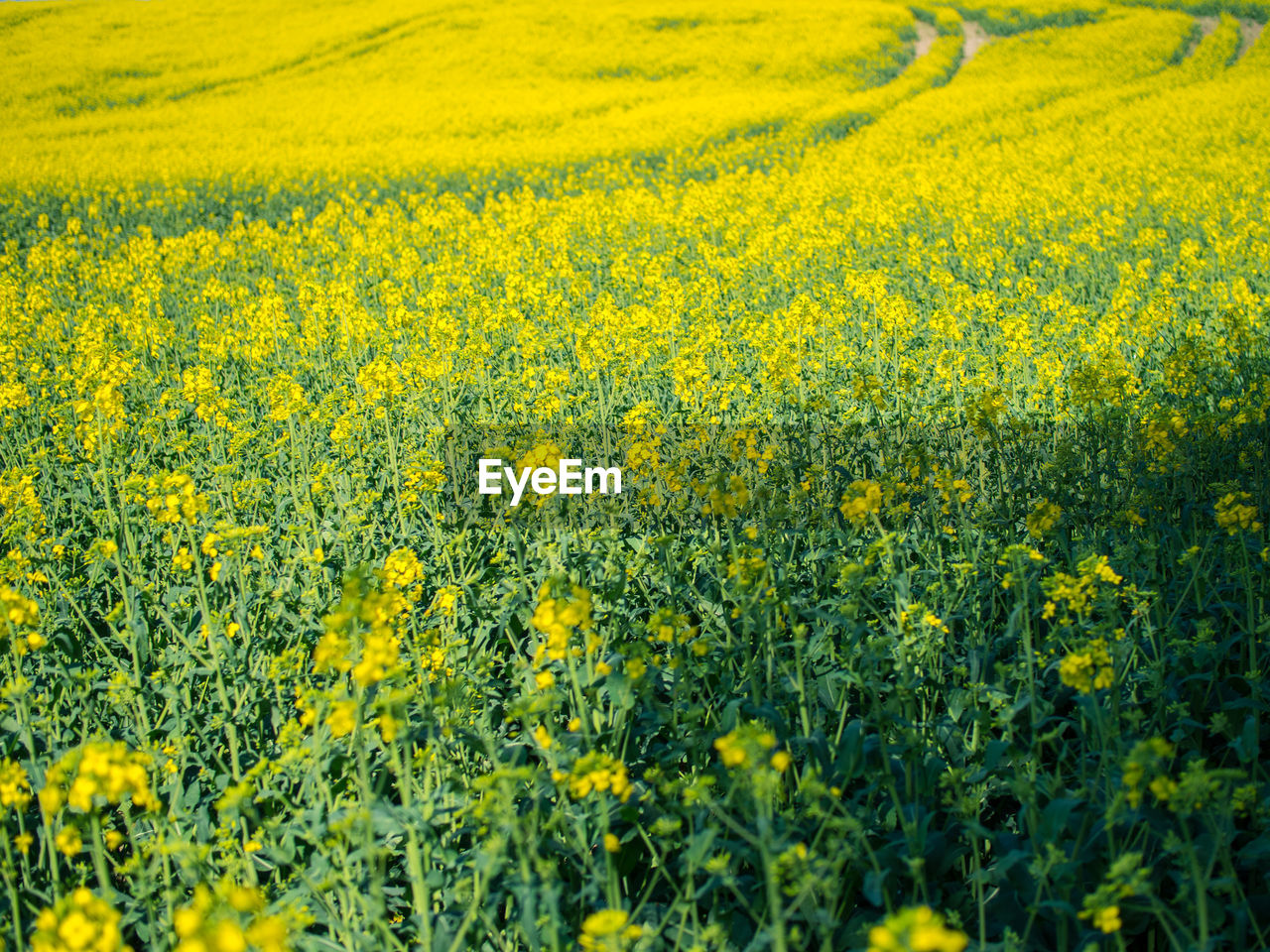 yellow, flower, oilseed rape, crop, field, agriculture, nature, farm, beauty in nature, rural scene, mustard plant, cultivated land, tranquil scene, growth, springtime, no people, landscape, tranquility, cultivated, day, plant, backgrounds, scenics, fragility, outdoors, freshness