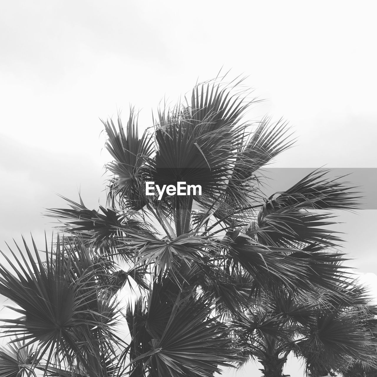sky, tropical climate, palm tree, plant, growth, tree, nature, low angle view, no people, beauty in nature, leaf, day, palm leaf, tranquility, outdoors, plant part, close-up, scenics - nature, freshness, tranquil scene, coconut palm tree, tropical tree, spiky
