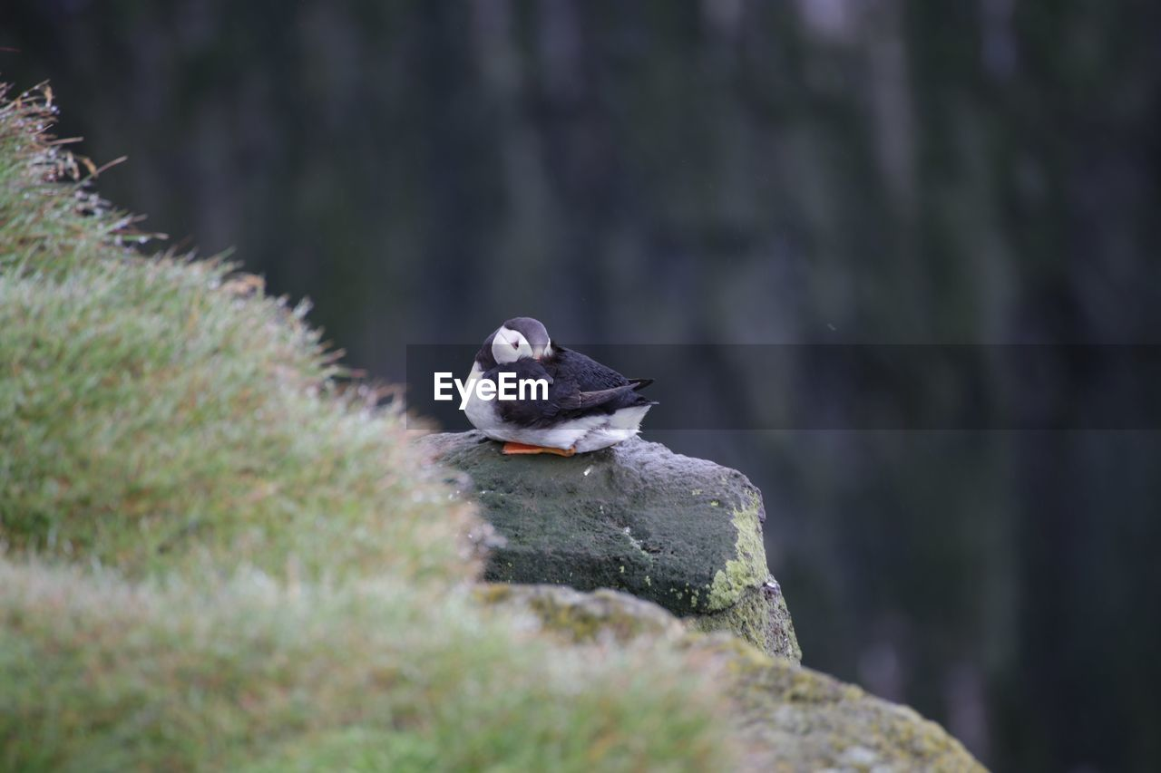 one animal, animals in the wild, animal themes, bird, animal wildlife, nature, no people, day, outdoors, perching, close-up