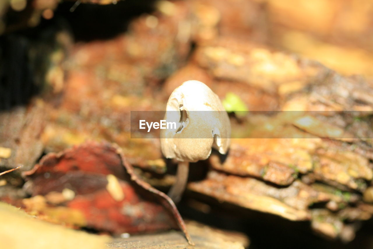 nature, autumn, beauty in nature, close-up, fragility, no people, outdoors, leaf, day, fungus, toadstool, fly agaric