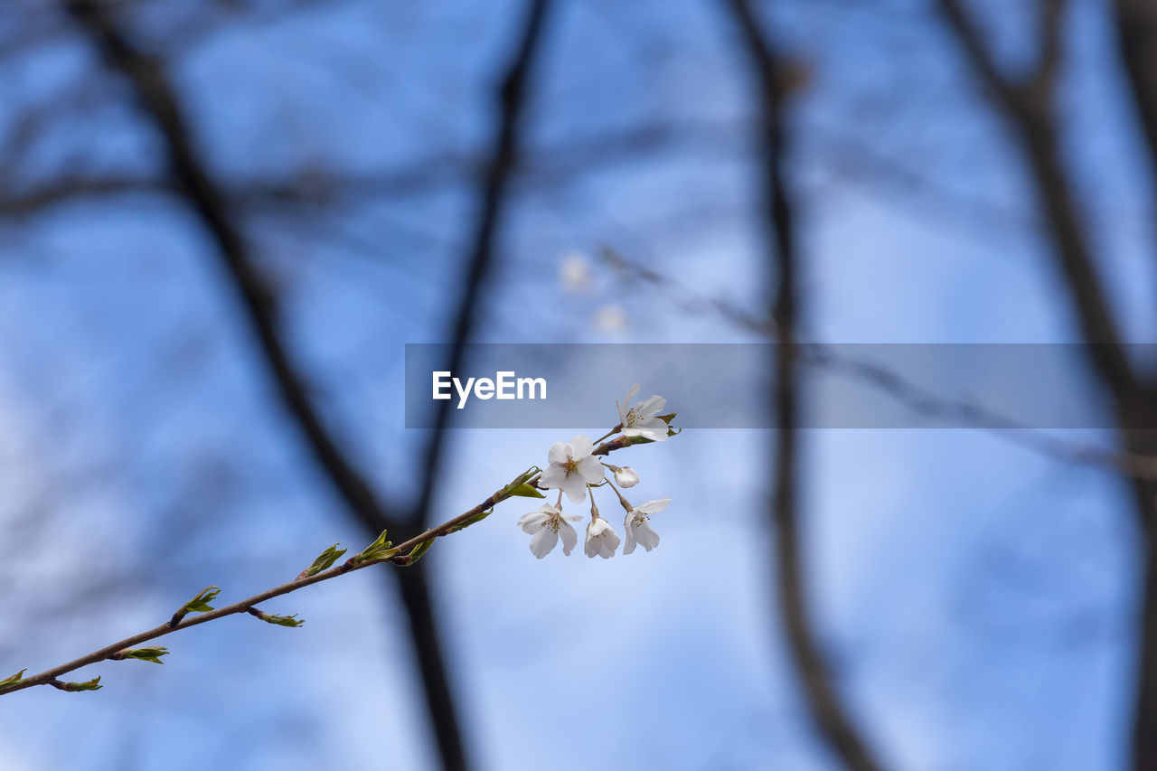 plant, flower, flowering plant, growth, fragility, beauty in nature, vulnerability, freshness, close-up, petal, focus on foreground, tree, nature, white color, no people, blossom, branch, springtime, day, flower head, outdoors, plum blossom, cherry blossom