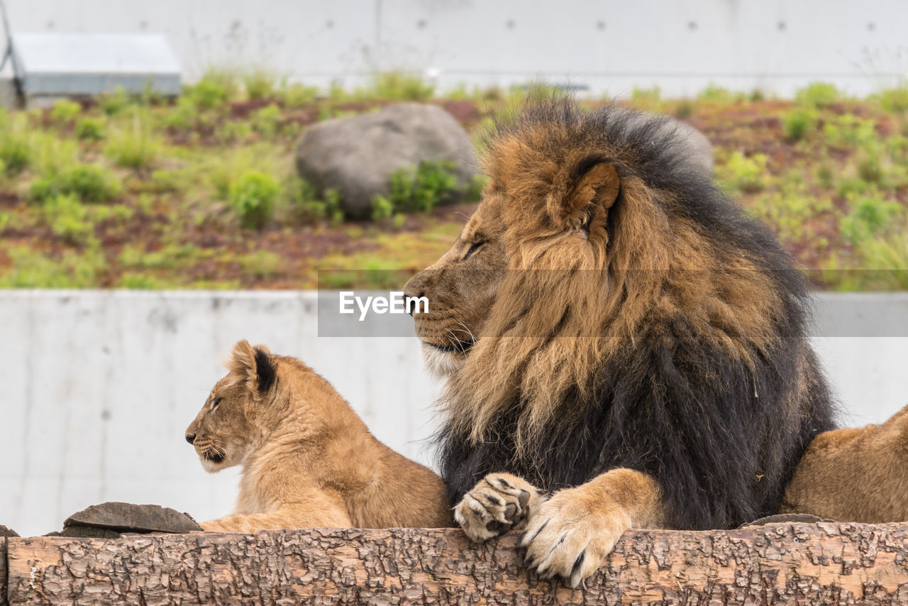 mammal, animal themes, animal, feline, cat, group of animals, lion - feline, animal wildlife, two animals, vertebrate, relaxation, animals in the wild, focus on foreground, pets, day, domestic animals, no people, female animal, looking away, outdoors, lioness, animal family, undomesticated cat