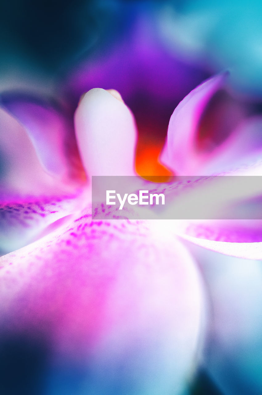 selective focus, close-up, flower, flowering plant, plant, pink color, beauty in nature, freshness, no people, petal, vulnerability, purple, fragility, flower head, inflorescence, multi colored, nature, growth, extreme close-up, pollen