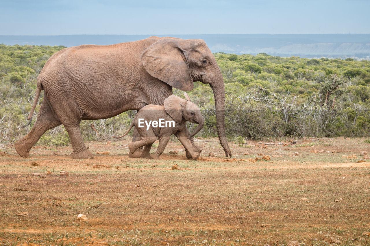 Elephant with calf walking on land
