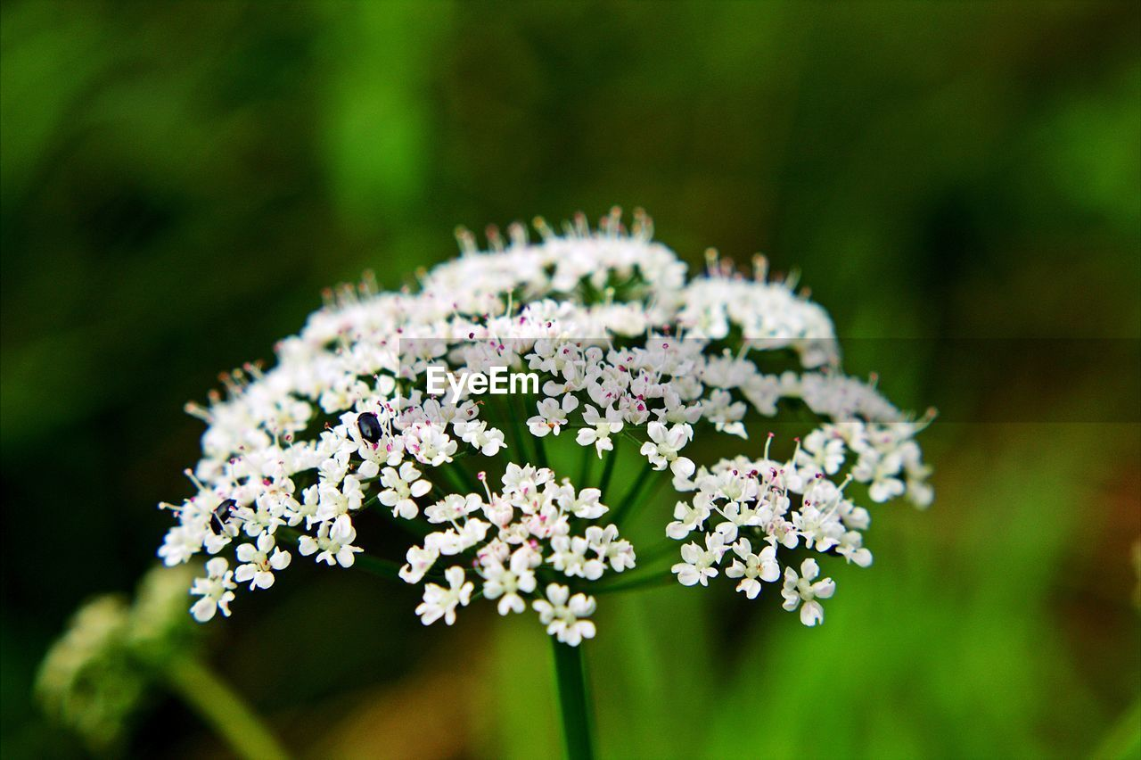 flower, flowering plant, plant, freshness, beauty in nature, vulnerability, fragility, nature, growth, day, white color, focus on foreground, selective focus, no people, flower head, outdoors, close-up, inflorescence, land, field, small