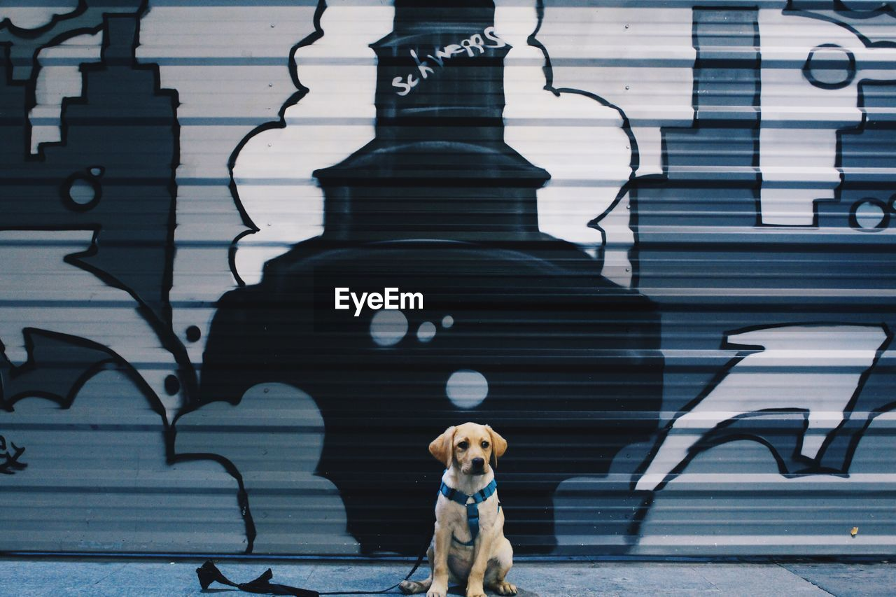 Labrador Retriever Puppy Sitting Against Graffiti Shutter