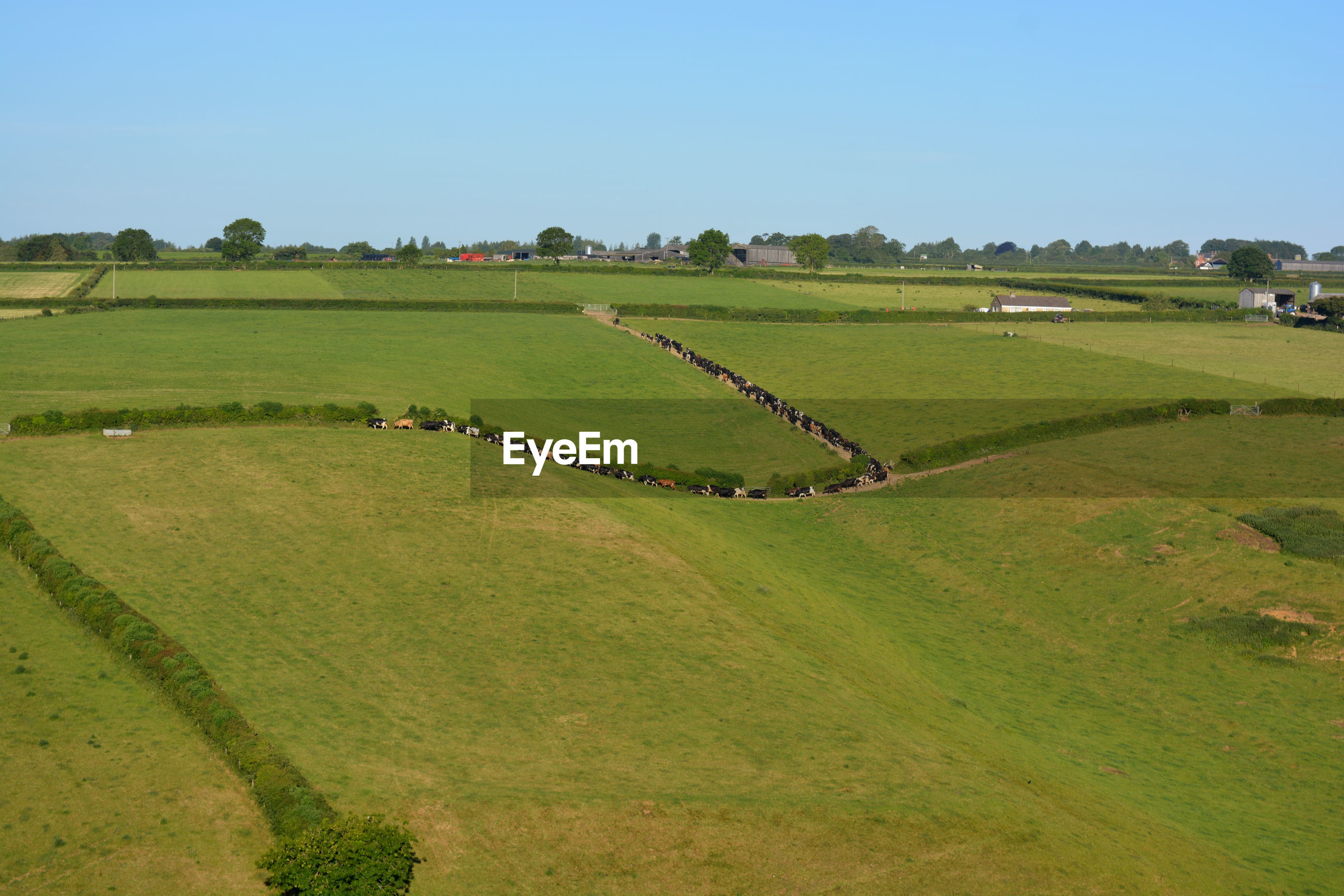 Landscape of green fields with a herd of cattle being moved to open pasture, dorset, england