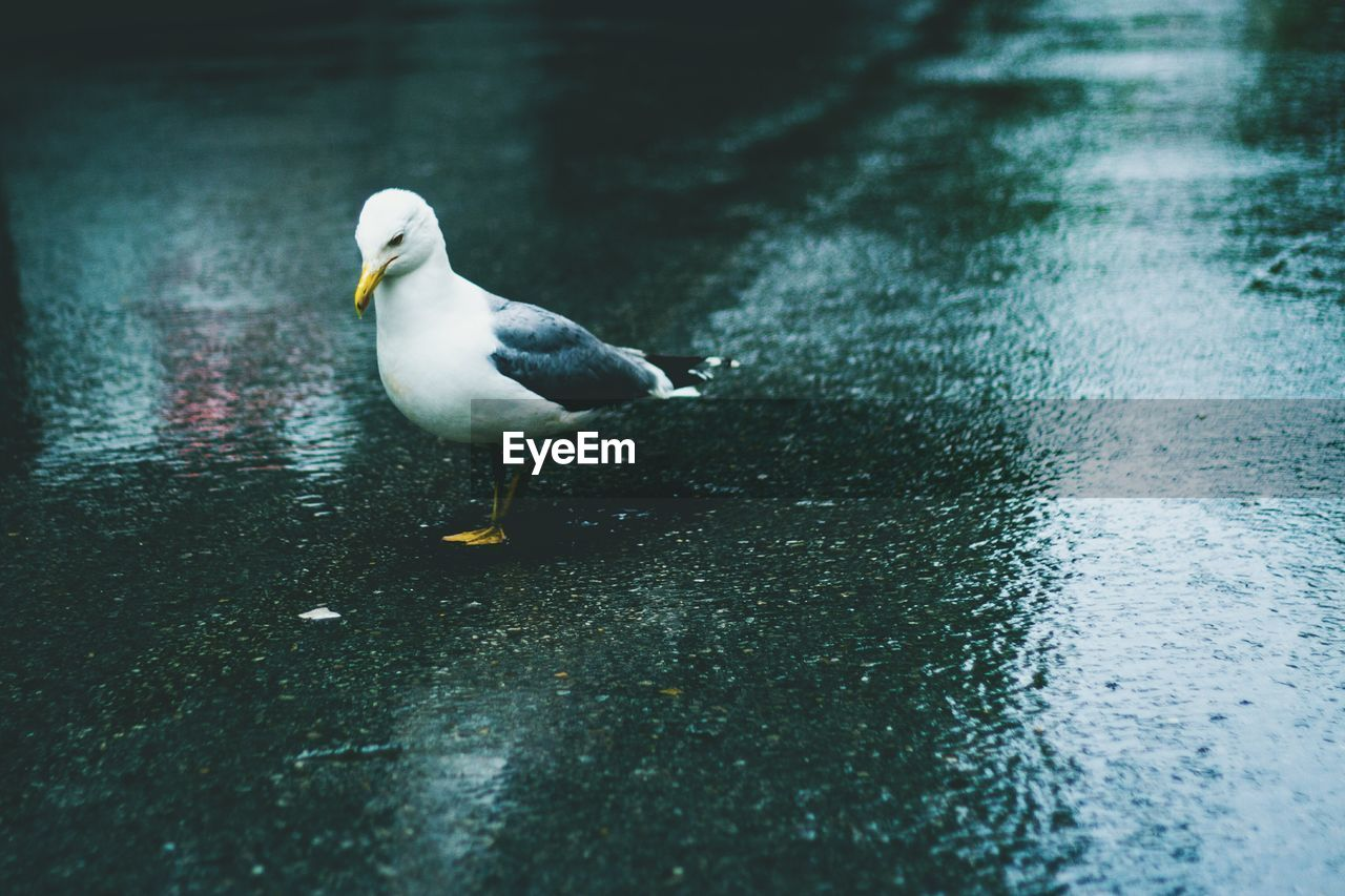 HIGH ANGLE VIEW OF SEAGULL