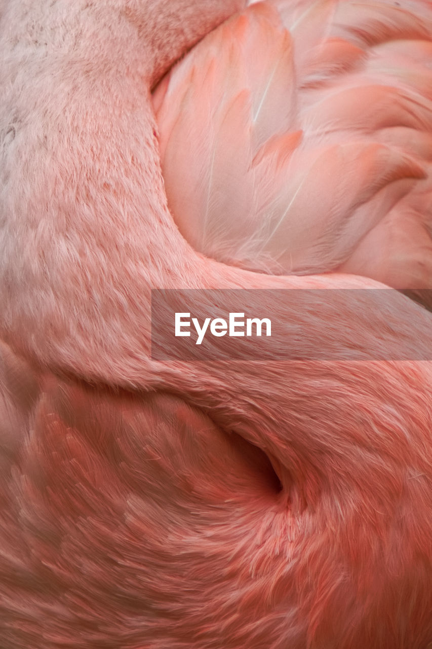 Full frame shot of flamingo