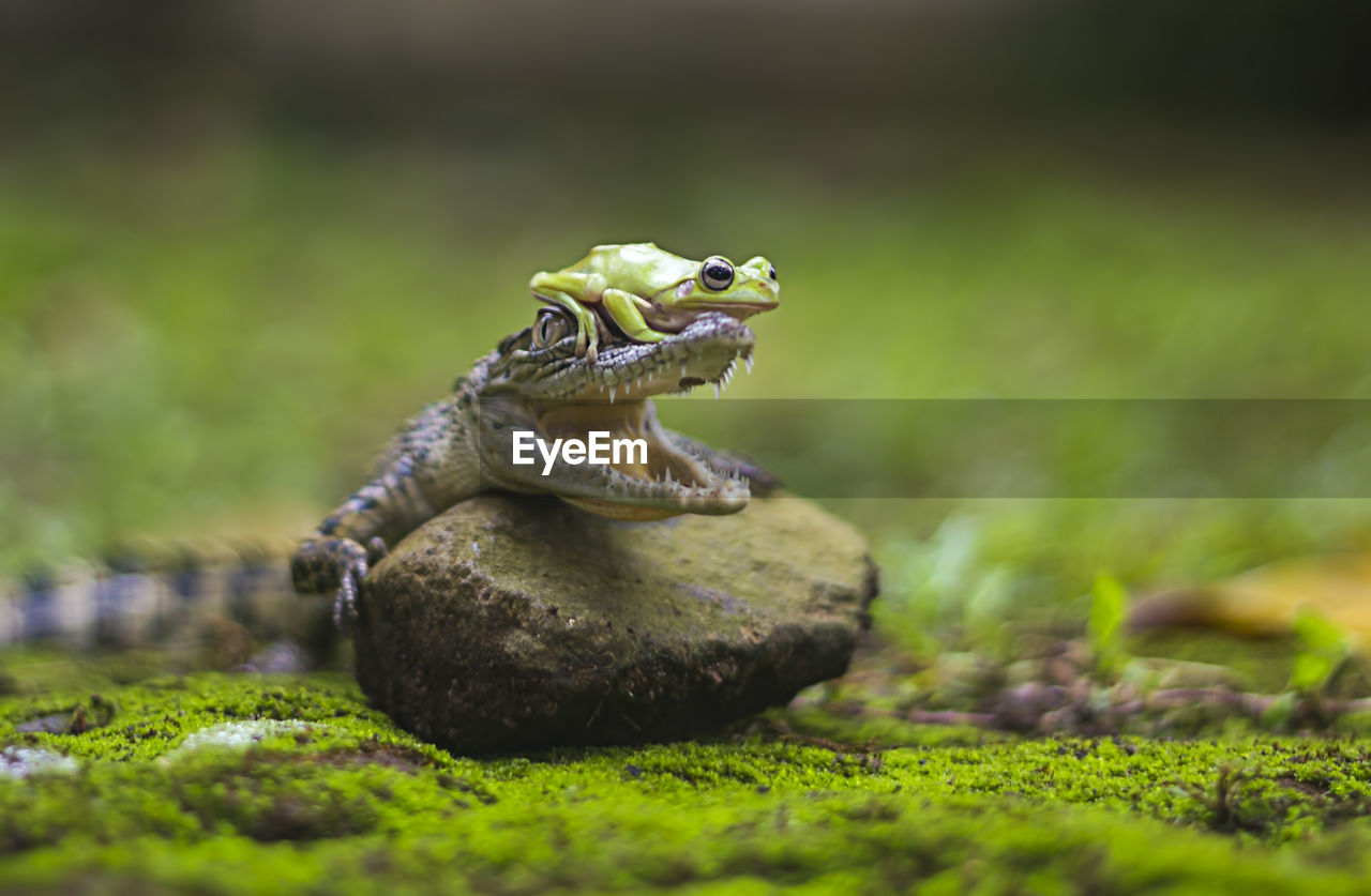 Frog on crocodile's head