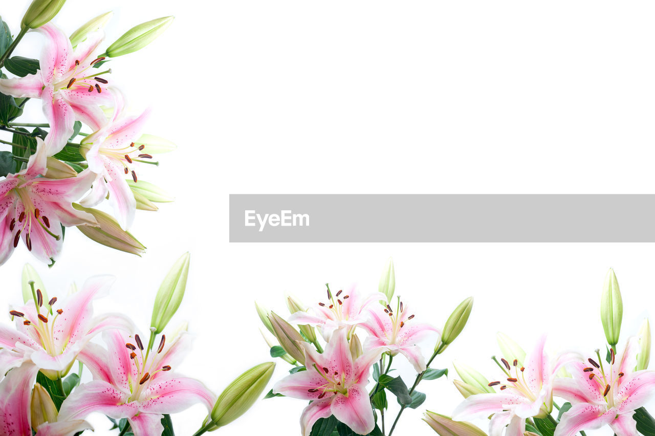 Pink lilies against white background
