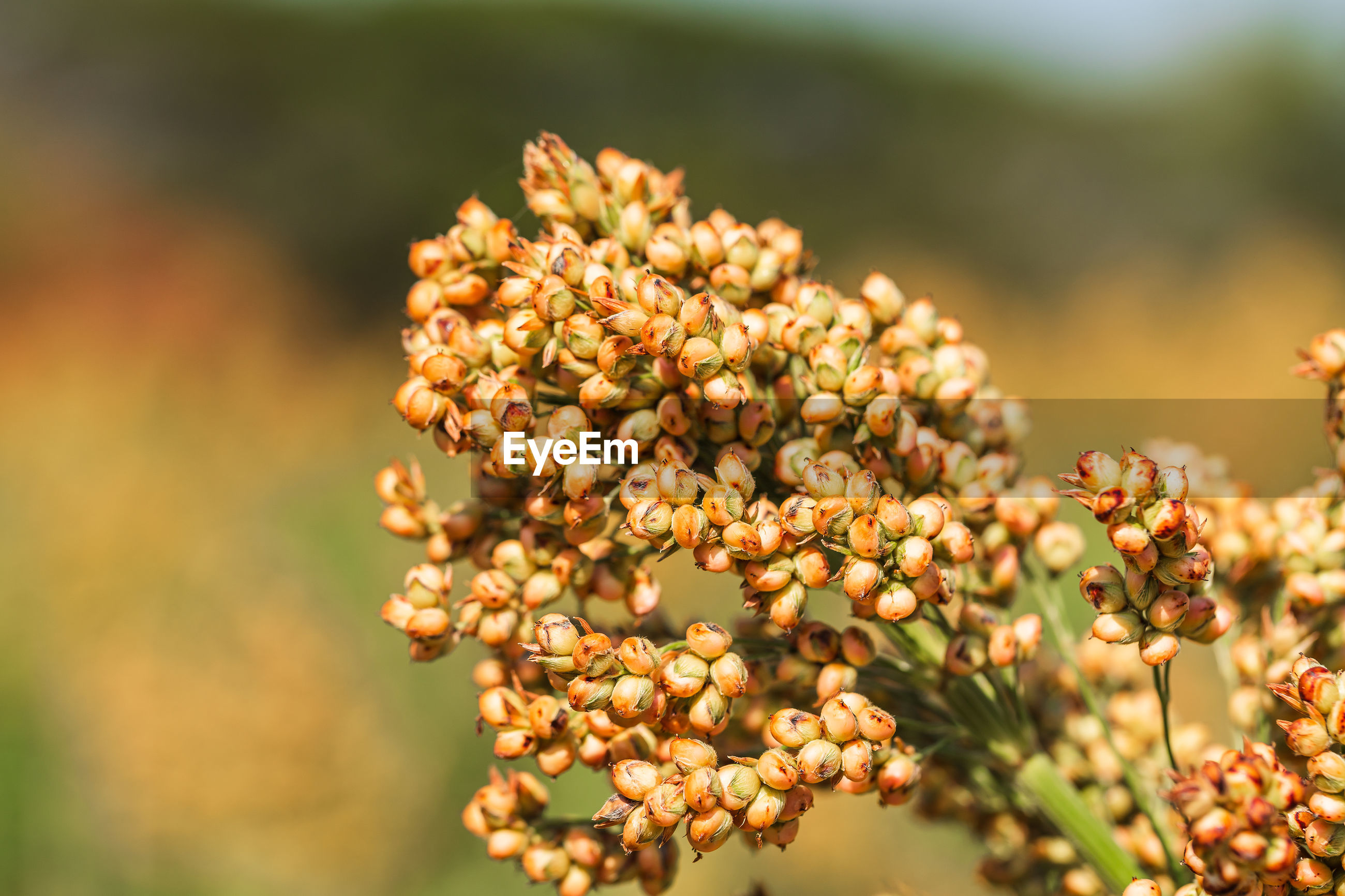 Close up millet or sorghum in field of feed for livestock. farming, glutinous
